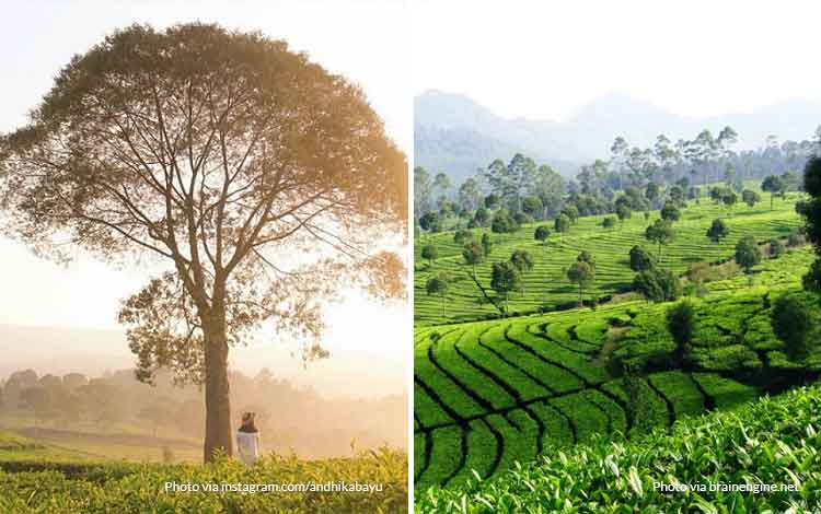 Kebun Teh Sukawana - Tempat wisata favorit Bandung