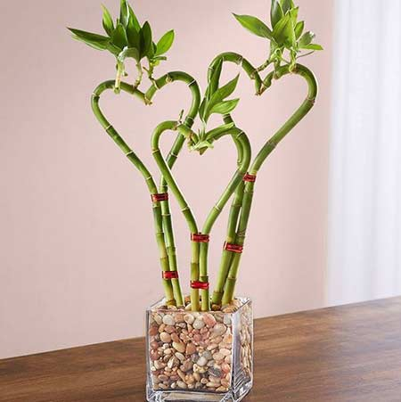 Hadiah valentine tanaman bambu hias berbentuk hati