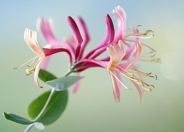 Bunga Honeysuckle