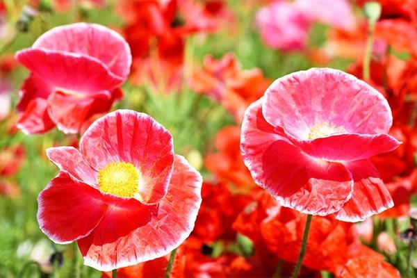 Bunga Poppy
